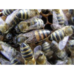 Mated carnolian queen bee 2018 (available from mid may)