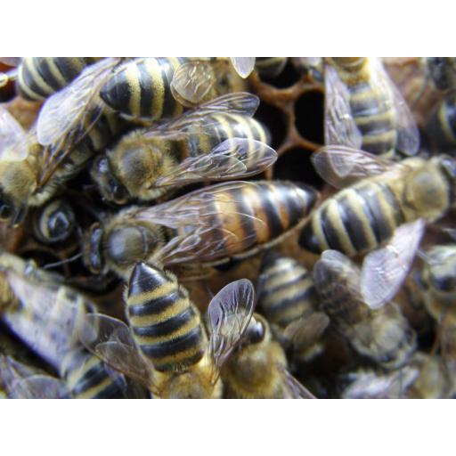 Mated Carnolian queen bee 2020